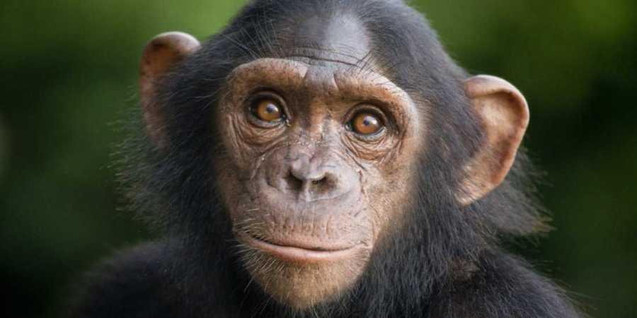 Шимпанзе могут освоить игру в «камень-ножницы-бумага»