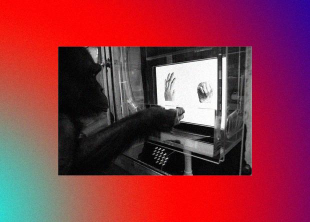 Шимпанзе научились играть в «камень, ножницы, бумагу»