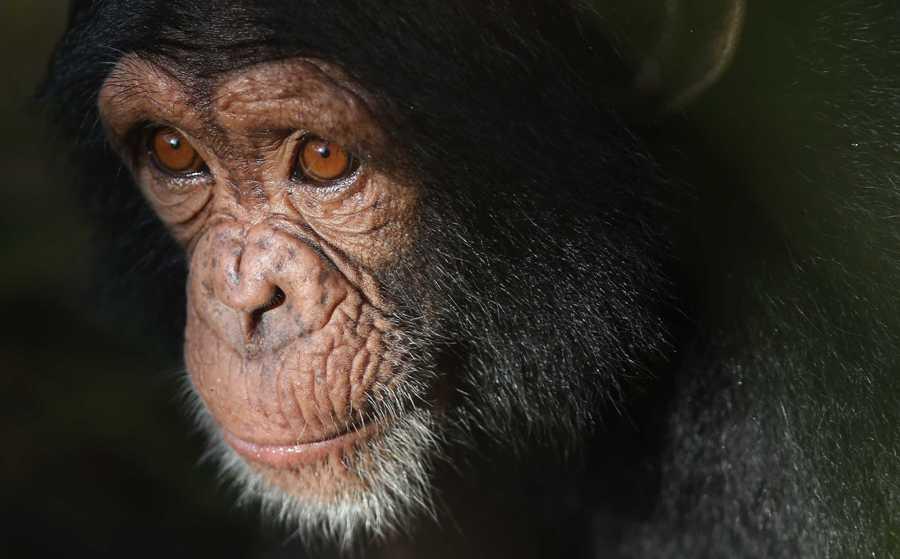 У шимпанзе впервые обнаружили проявления болезни Альцгеймера