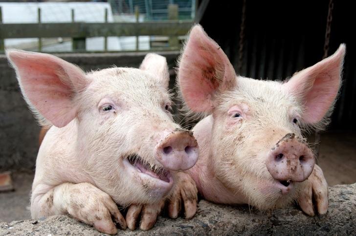 Свиньи и зрада