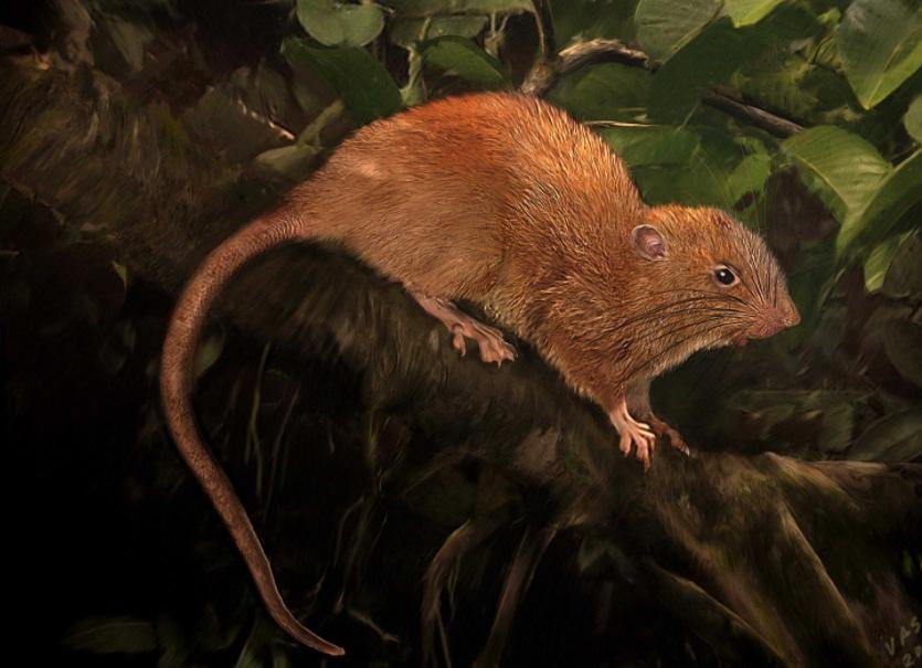 На Соломоновых островах нашли гигантскую крысу