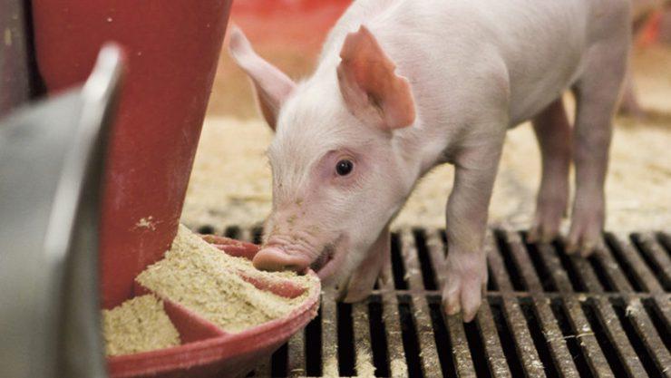 Из-за африканской чумы в Украине растут цены на мясо