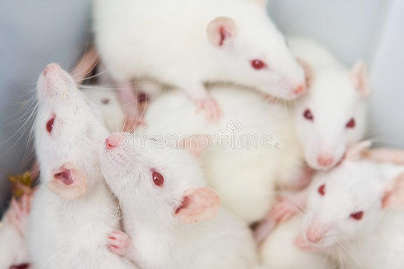 У крыс нашли признаки человеческого сознания