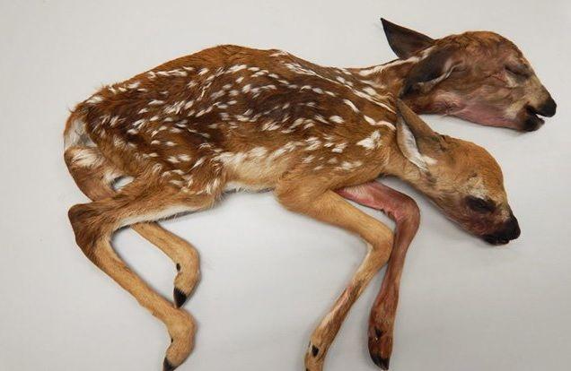 В США обнаружили двуглавого олененка: Фото