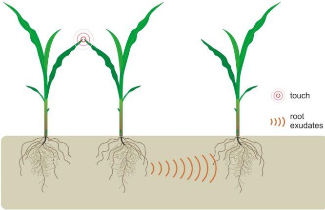 Биологи обнаружили, что растения общаются друг с другом корнями