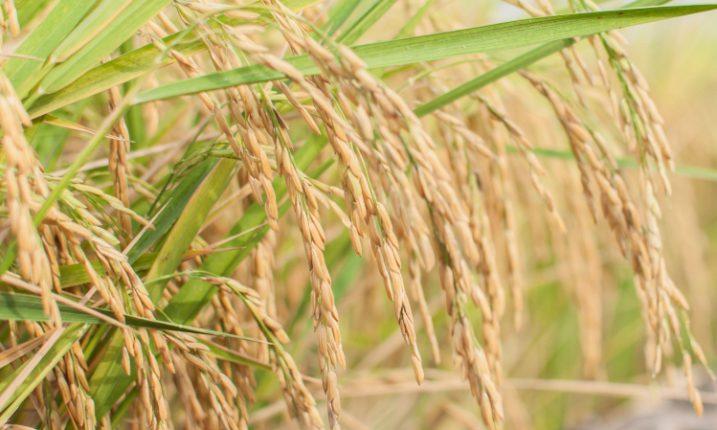 Генетически модифицированный рис увеличил количество урожая на треть