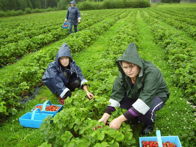 Фермеры готовы платить сезонным работникам 200-300 грн в день