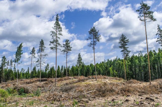 Ущерб от нашествия короедов на сосновые леса может достигнуть десятков миллиардов гривен