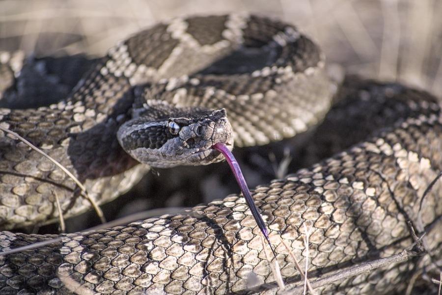 В США мужчину укусила отрубленная голова змеи
