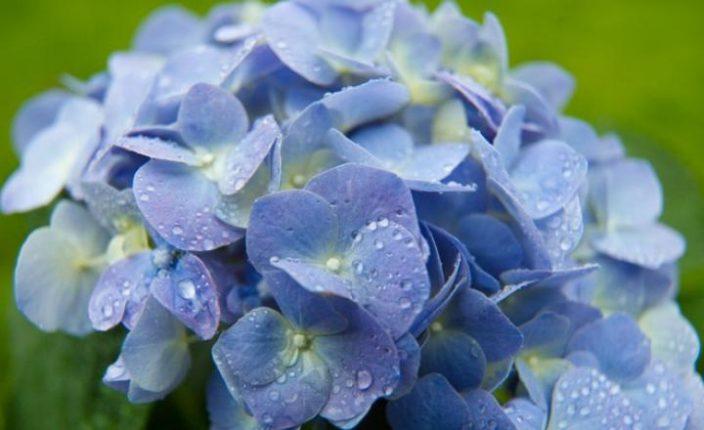 Гортензия — цветок жизни