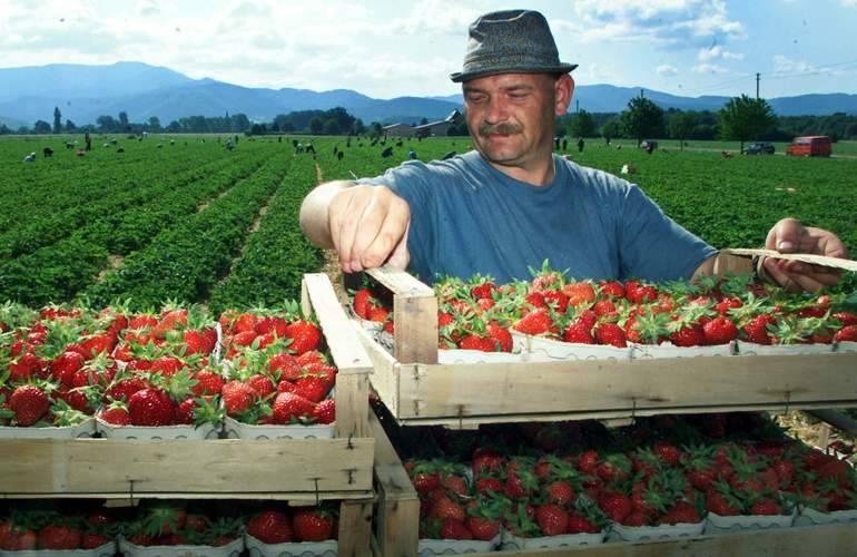 Без украинских рабочих Польша потеряет 40% урожая ягод