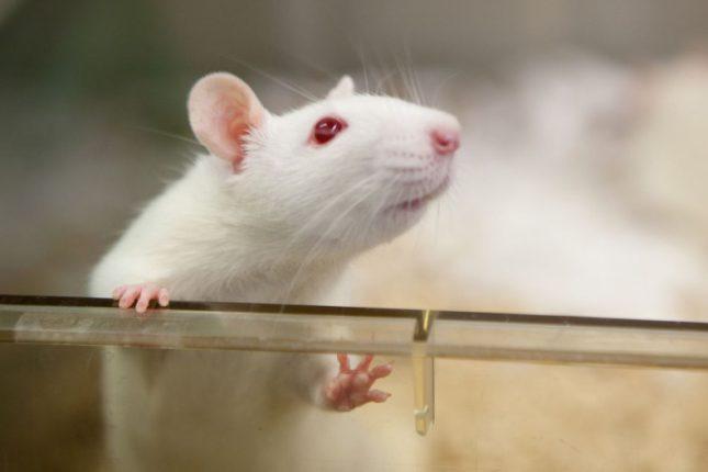 Ученые нашли способ «читать мысли» крыс