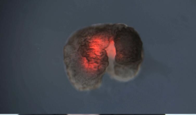 Из клеток лягушки создали живого робота
