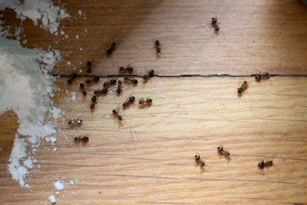 Дезинфекция помещения от муравьев